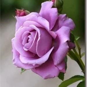 imagens-flores-11_thumb